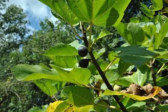 Photo: Les figues sont mûres !
