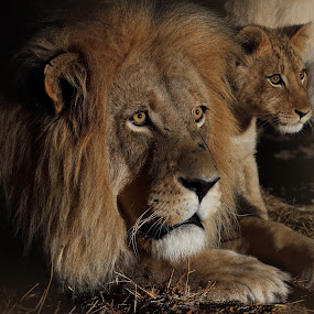 Father and Son by Sue Green - Animals Lions, Tigers & Big Cats ( gruesome twosome, lion, night of the lions, cats together., nature reserve, south africa, leo, wildlife, male lion, danger in the night, i'm with you dad !, watching you, the stare, adult male lion and cub., night life, conservation, predator young and old, lions at night, safari, waiting for the kill, watchful, africa, male alert,  )