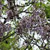 Royal Empress Tree