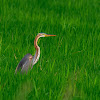 Garza imperial (Purple heron)