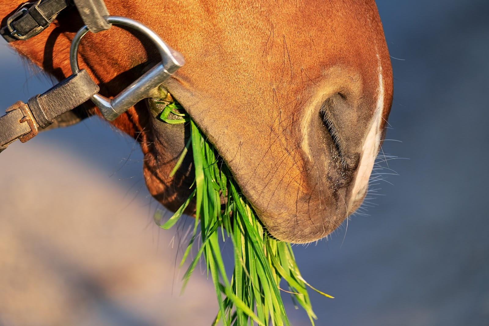 Closeup of a horse eating a mouthful of grass.