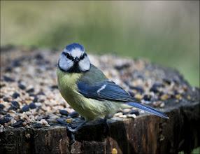 Photo: Bird N°11 - Blue Tit .. .. .. Latin: Cyanistes caeruleus obscurus