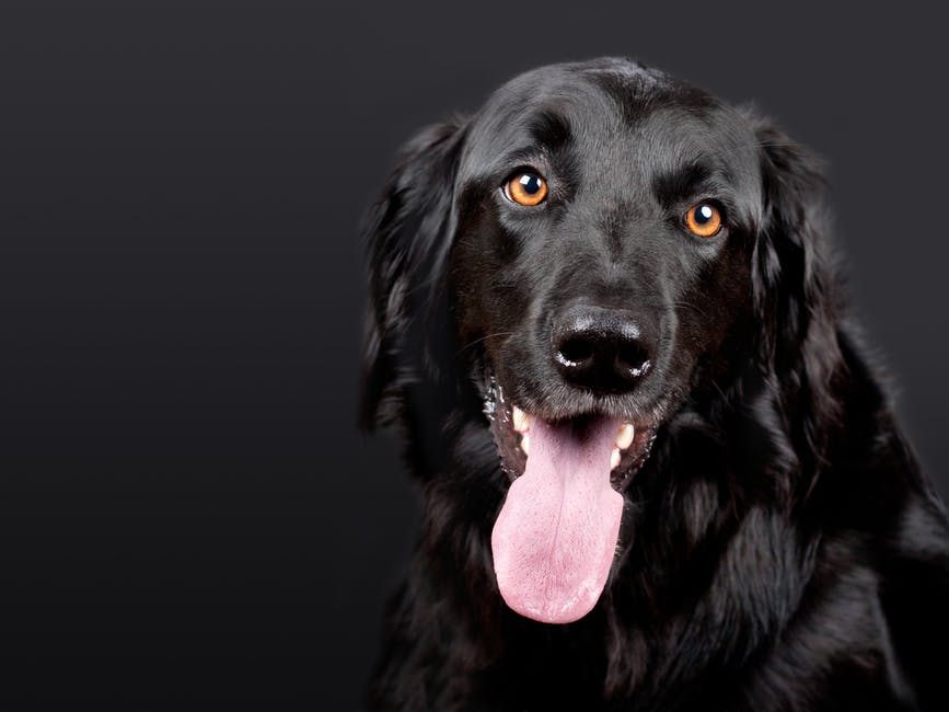 Black Flat Coated Retriever
