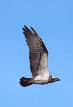 Photo: Osprey over Giralang Pond