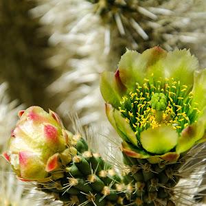 teddychollaflower-1.jpg