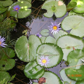 Lillypads by Diane Garcia - Nature Up Close Leaves & Grasses (  )