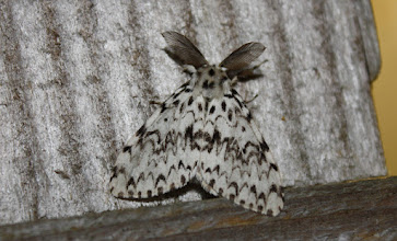 Photo: Lymantria monacha    Lepidoptera > Erebidae
