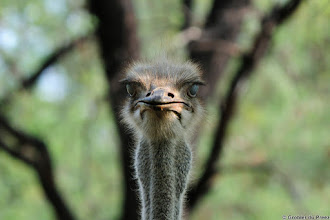 Photo: What are you looking at? Ostrich, Walking on high heels... Ostrich in the Marakele National Park, South Africa.
