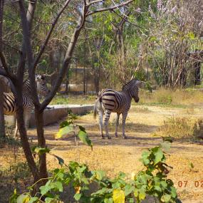 ZeBrA by Karthish Waran - Animals Other Mammals