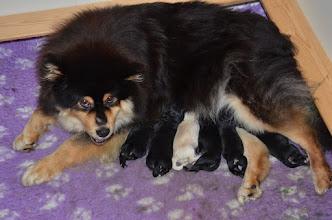 Photo: Efter at have sovet knap 4 timer, tjekkes alle 6 hvalpe. Ingen af dem har ulveklør. Der er stadig kun 1 tæve og 5 hanner. Vi må håber på, at Maaru føder nogle tæver.