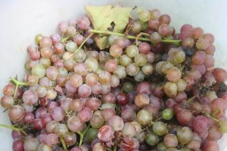 Photo: 矢口農園さん 葡萄とスイカをサービス 大サービスです!  来月は巨峰を販売予定だそうです。