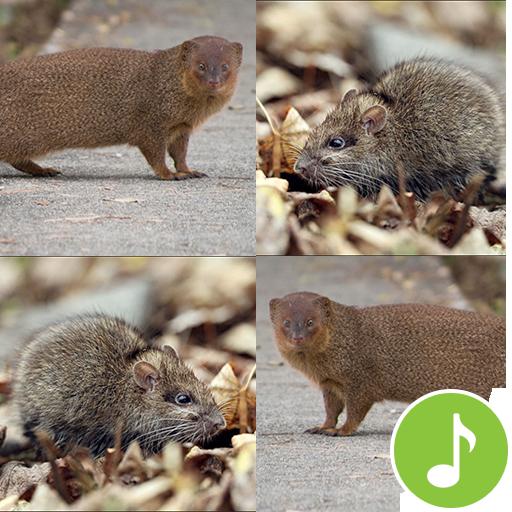 Appp.io - Mongoose and Bandicoot rats Sounds