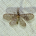 Pleasing Lacewings (Dilaridae)
