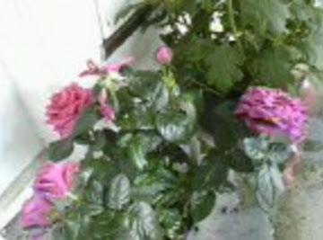 Mini Dark Pink Roses Recipe