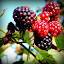 Berry Me! by Becky Luschei - Nature Up Close Other Natural Objects ( gloss black, different stages, color, black berries, bright red, close up, ripeness )