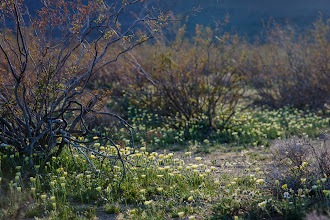 Photo: Wildflowers near the road to Kennedy Meadows in the Eastern Sierra near Mojave