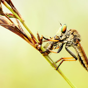 mr. robber by Gilang Franasia - Animals Insects & Spiders ( macro, insect, animal,  )