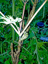 Photo: Having butterflies in the garden makes it feel more peaceful. Having food such as fennel means food for caterpillars. This is a Black Swallowtail caterpillar JUST getting ready to pupate and become a butterfly.