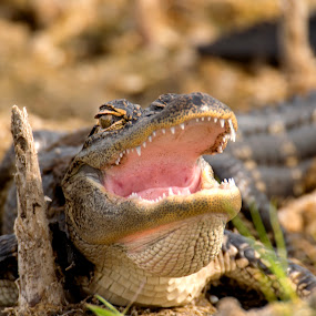 Gator Smile by Jeri Curley - Animals Reptiles