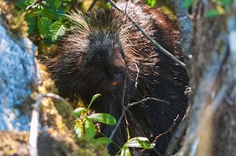 Photo: Porcupine near path to Mendenhall Glacier