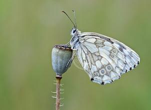 Photo: Melanargia galathea, Demi-deuil, Marbled White  http://lepidoptera-butterflies.blogspot.com