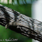 Ornate tree lizard