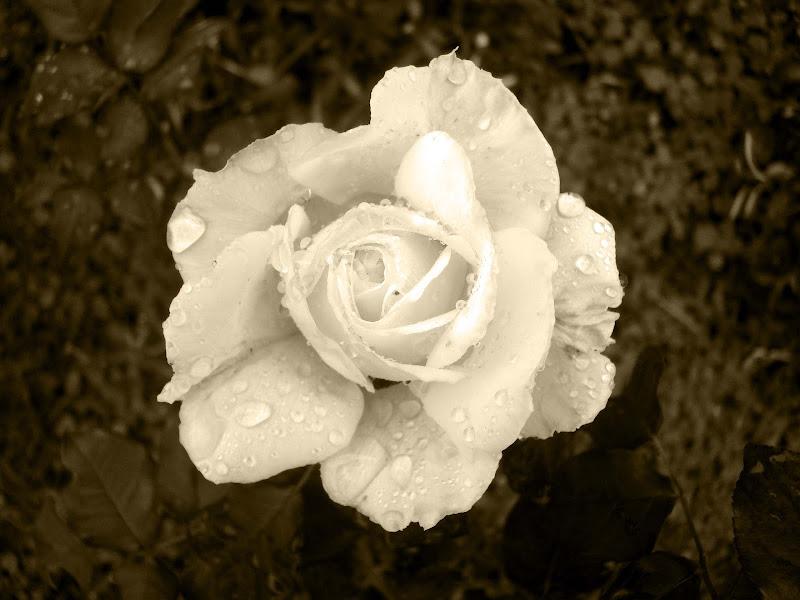 Photo: Rosa
