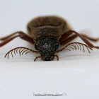 Arboreal Click Beetle