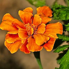 Summer Marigold by Doug Wean - Flowers Single Flower ( orange, nature, marigold, single flower, nature up close, garden flower, garden, flower,  )
