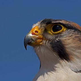 Falcon by Tony Wilson - Animals Birds