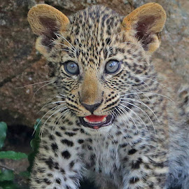 Little Cat for now! by Anthony Goldman - Animals Lions, Tigers & Big Cats ( cub, leopard, 6 weeksold, predator, nature, south africa., londolozi, big cat, wild, wildlife,  )
