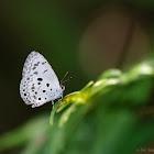 Chilades lajus 紫灰蝶