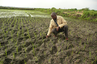 Photo: Moses Kareithi with his two-week-old SRI crop, Mwea Irrigation Scheme, 2009. [Photo Courtesy of Bancy Mati]