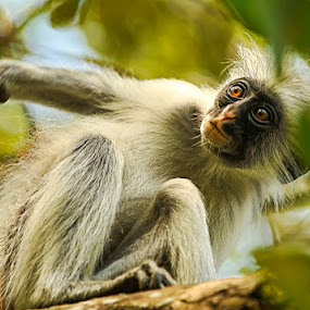 itchy - scratchy by Anna Trandeva - Animals Other Mammals ( red colobus )