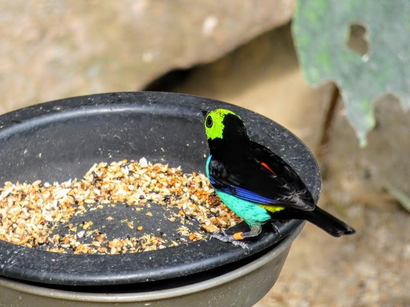 tangarka zielonogłowa