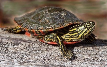 Image result for eastern painted turtle
