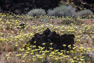 Photo: Desert dandelions in a lava field in the Mojave Desert