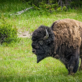 Lone Bison by Scott Wood - Animals Other Mammals ( buffalo, yellowstone, vacation, iconic, grass, bison, summer, horn, travel, animal,  )