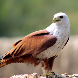 brahminy kite- Dignity look by Guru Prasad - Animals Birds ( bird, guru prasad, bestbirds, birds, eagal )