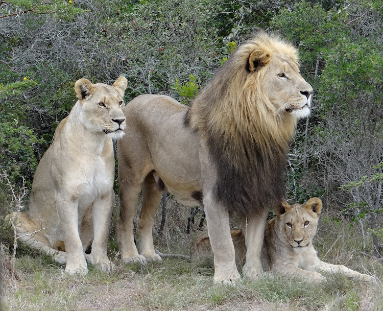 At least two alleged poachers were killed by a pride of lions on the Sibuya Game Reserve outside Kenton-on-Sea.