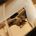 California myotis bat