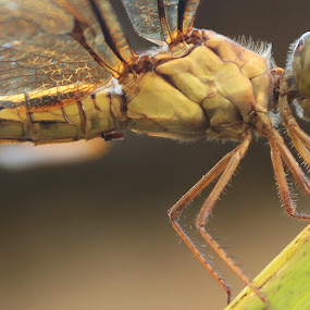 capung macro by Pelukis Badai - Nature Up Close Other Natural Objects