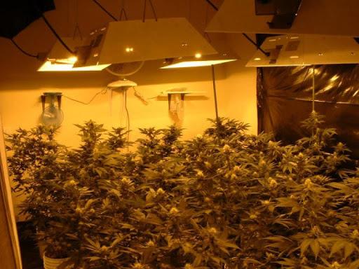 Marijuana grows Wallpapers
