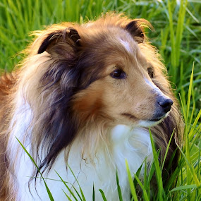 Ramblin' in the Tall Grass by Tim Hall - Animals - Dogs Portraits ( dog outdoors, dog in grass, shetland sheepdog, dog outside, dog portrait, happy dog, sheltie,  )