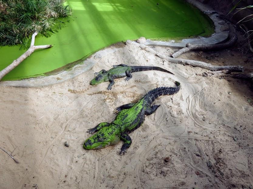 Krokodyle wylegujące się na piasku
