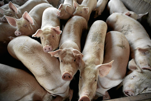 The latest outbreak of African swine fever killed 38 pigs.