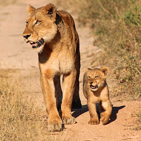 This photo by Anthony Goldman - Animals Lions, Tigers & Big Cats ( big cat, wild, predator, lioness, africa, ulusaba, lion cub, , Innocence, Love, Life, People, baby, young, animal, Spring, springtime, outdoors, Africa, Safari, path, nature, landscape )