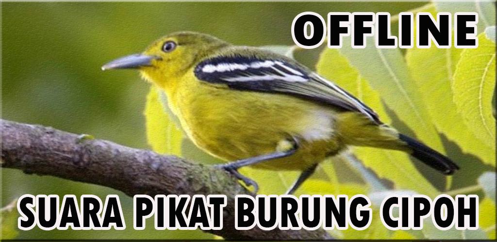 Download Suara Pikat Burung Cipoh Ampuh Apk Latest Version For Android