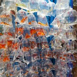 Goldfish market in Hong Kong in Hong Kong, , Hong Kong SAR