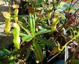 Photo: Nepenthes pervillei in Kultur